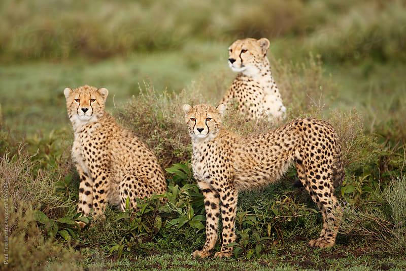 Three Cheetahs on the Serengeti Plains by Paul Tessier for Stocksy United