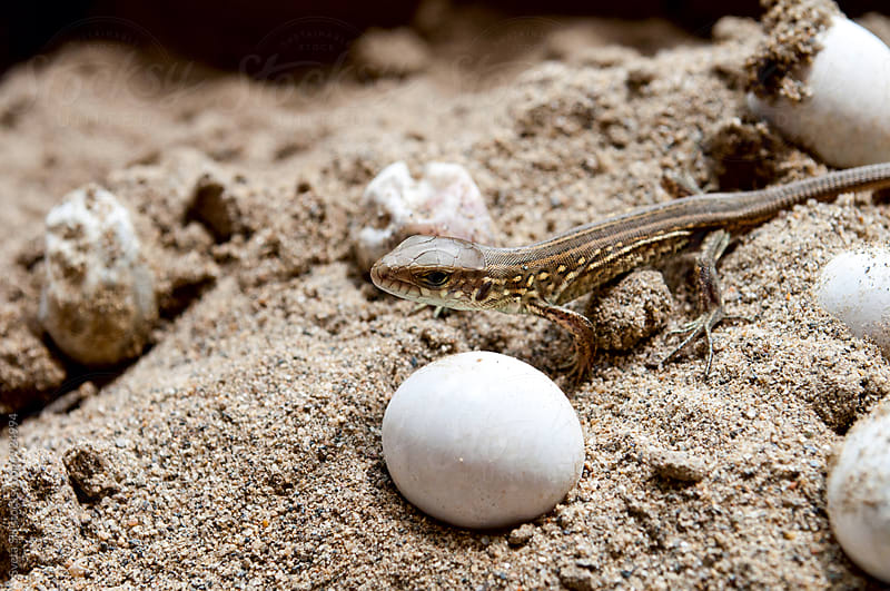 The small lizard and eggs by Svetlana Shchemeleva for Stocksy United