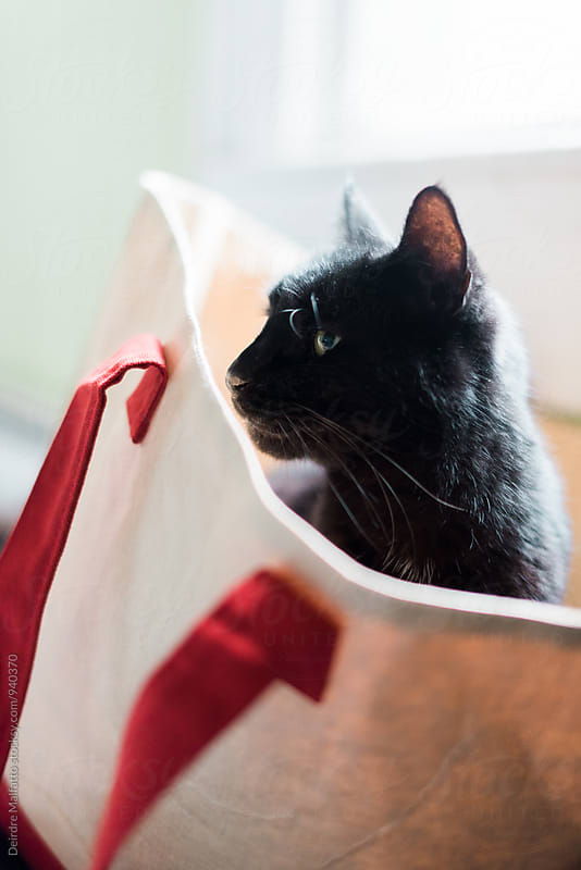 cat in a tote bag by Deirdre Malfatto for Stocksy United