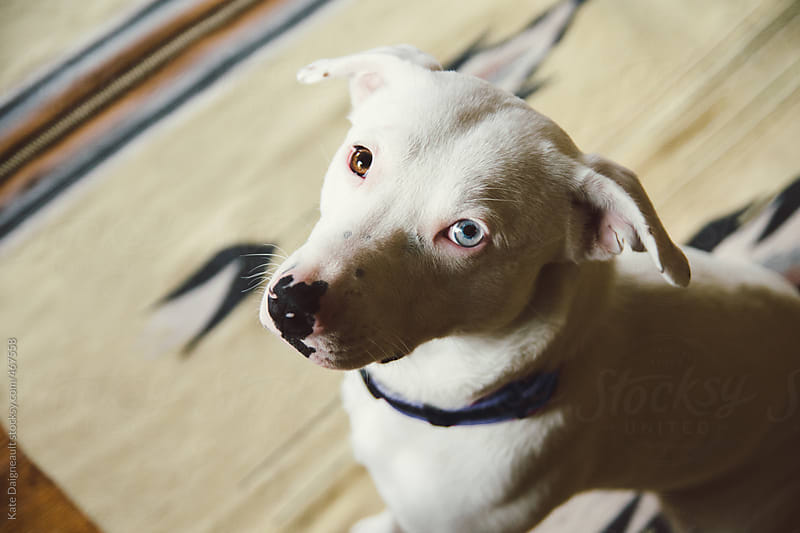 A cute white puppy sits on the floor looking at the camera by Kate Daigneault for Stocksy United