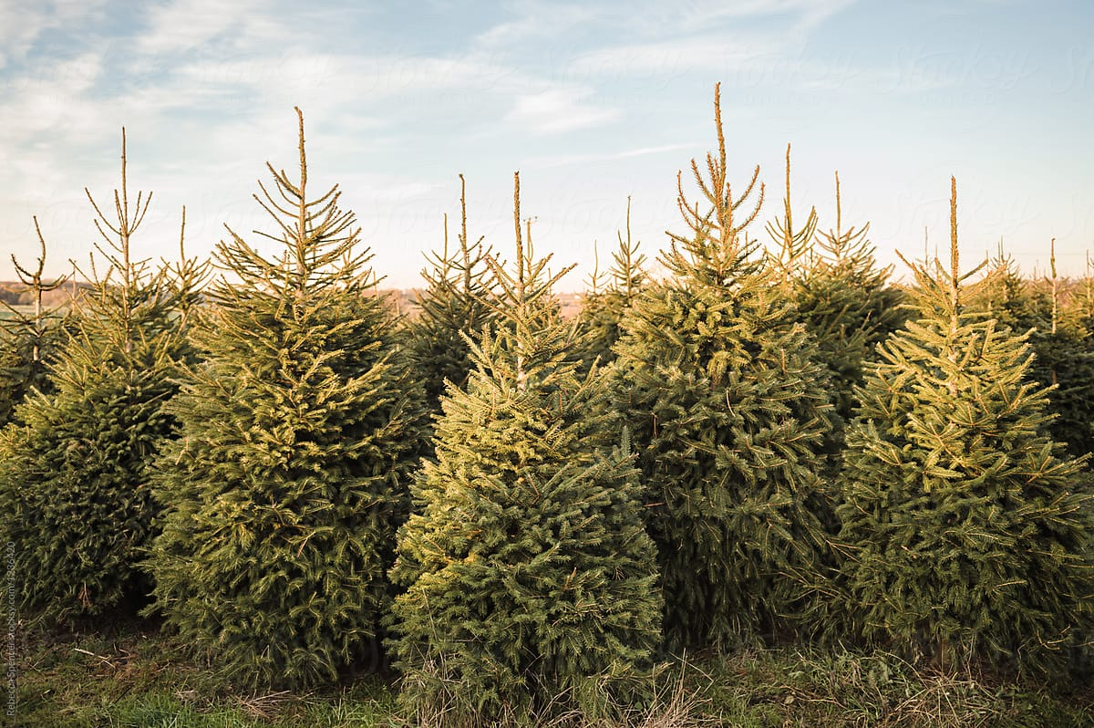 Norway Spruce Christmas Trees In A Field | Stocksy United