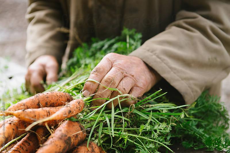 freshly dug organic carrots by Gillian Vann for Stocksy United
