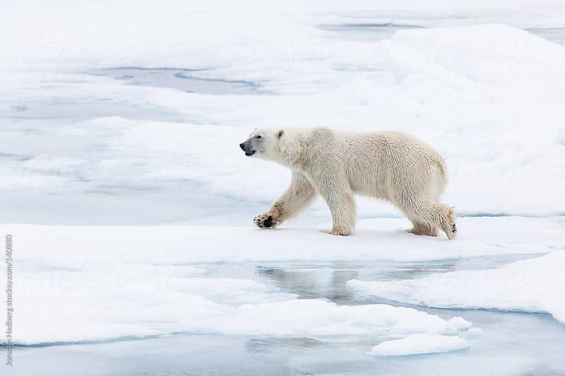 Male polar bear in Spitsbergen by Jonatan Hedberg for Stocksy United