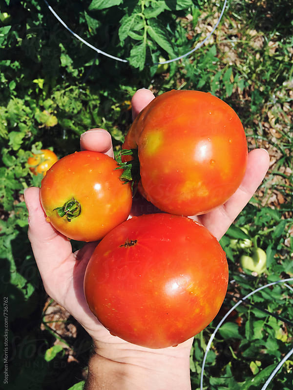 Fresh Picked Organic Tomatoes by Stephen Morris for Stocksy United