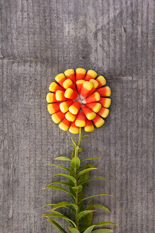Autumn Concept: Candy Corn Flower by Brandon Alms for Stocksy United