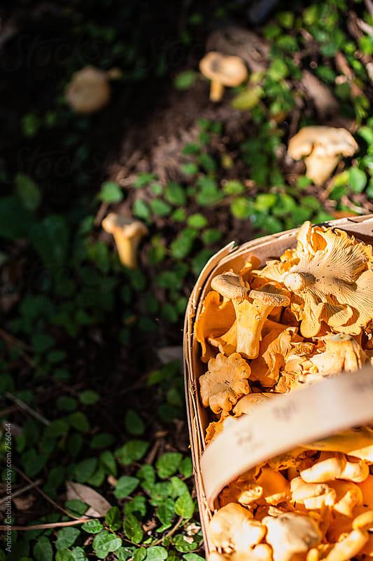 Chanterelle Mushroom by Andrew Cebulka for Stocksy United