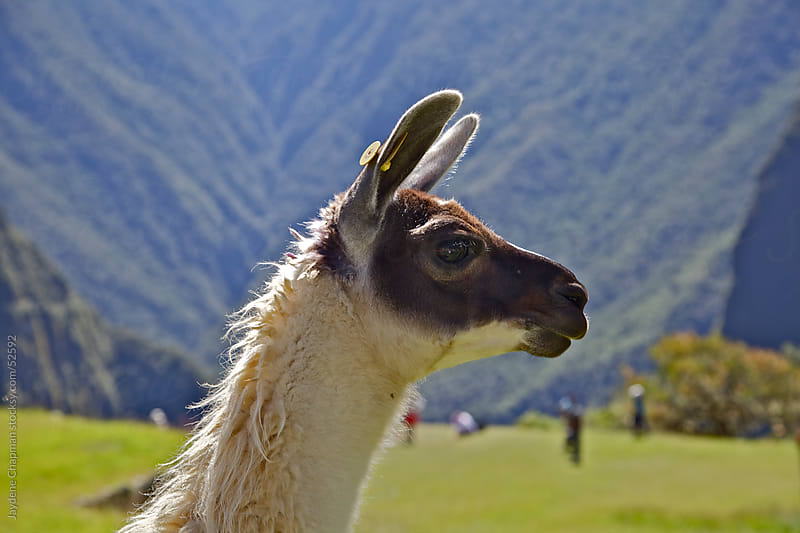 Side profile of a Llamas head, on top of Machu Picchu, Unesco World Heritage Site, Peru by Jaydene Chapman for Stocksy United