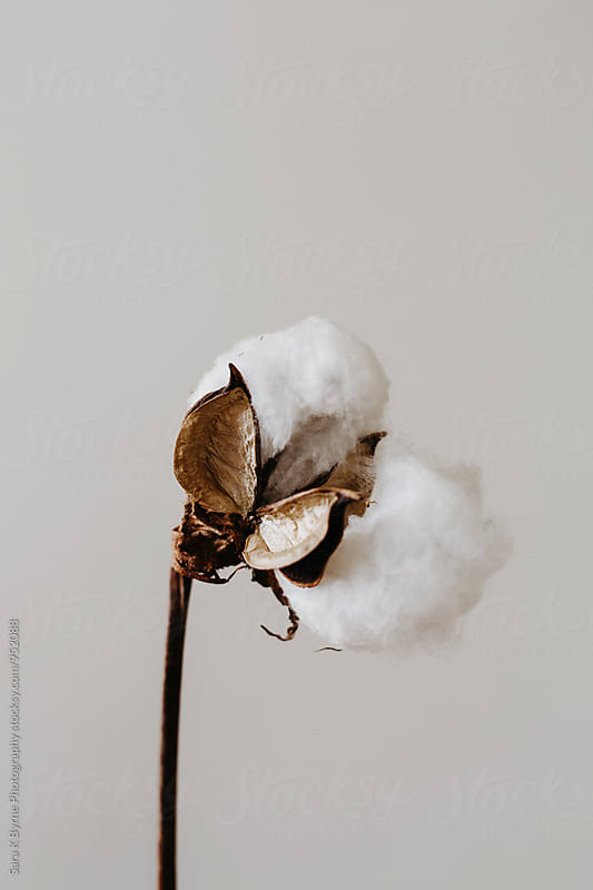 Cotton Plant by Sara K Byrne Photography for Stocksy United