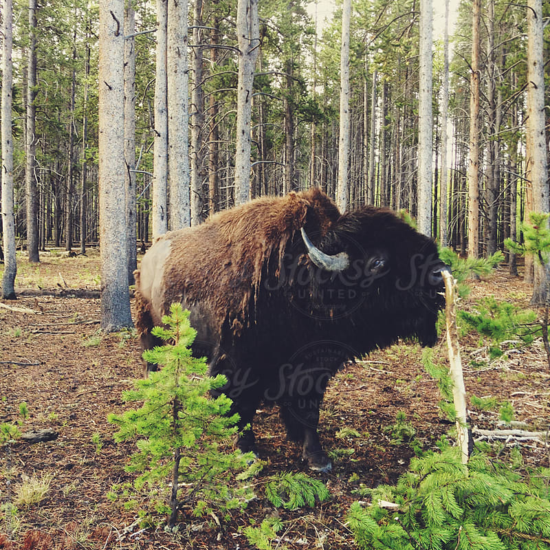 Bison Eating Bark Breakfast by Kevin Russ for Stocksy United
