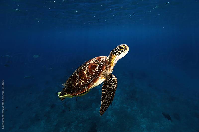 hawksbill turtle by Nat sumanatemeya for Stocksy United