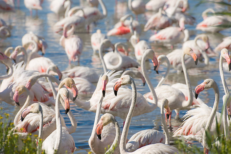 Group of pink flamingo birds in the Rhone Delta by RG&B Images for Stocksy United