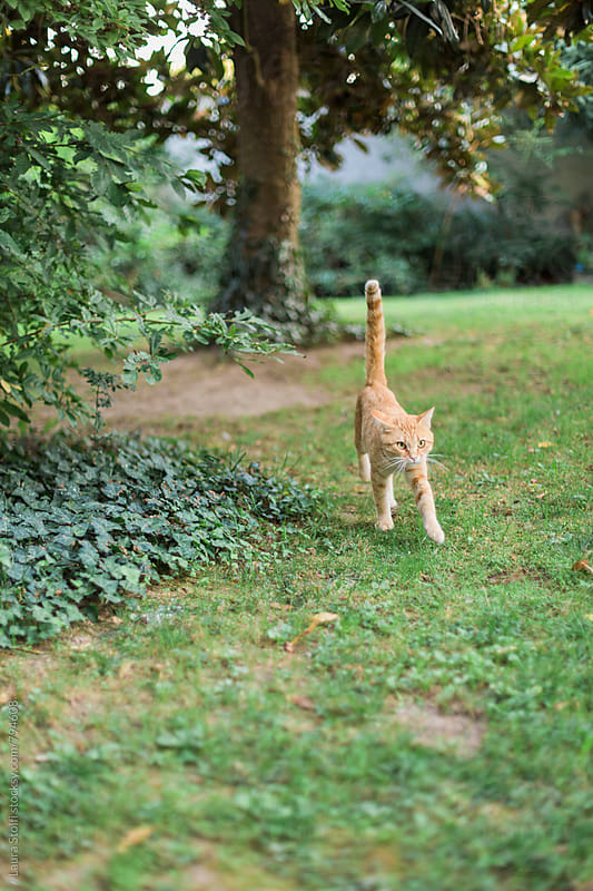 Adult striped red cat walking in the grass in garden with erect tail by Laura Stolfi for Stocksy United