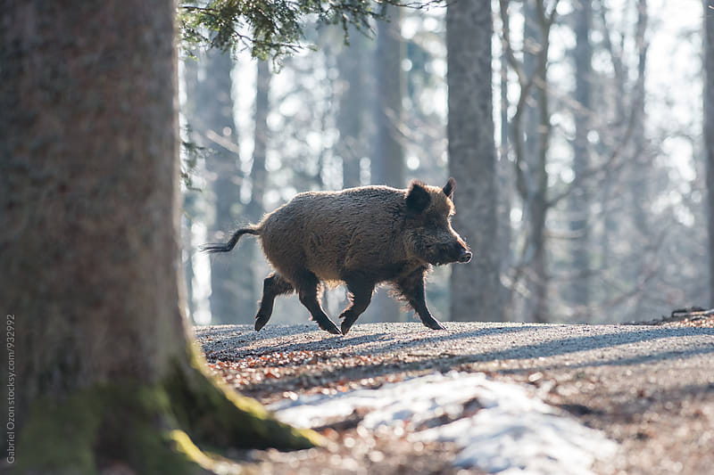 Wild Boar by Gabriel Ozon for Stocksy United