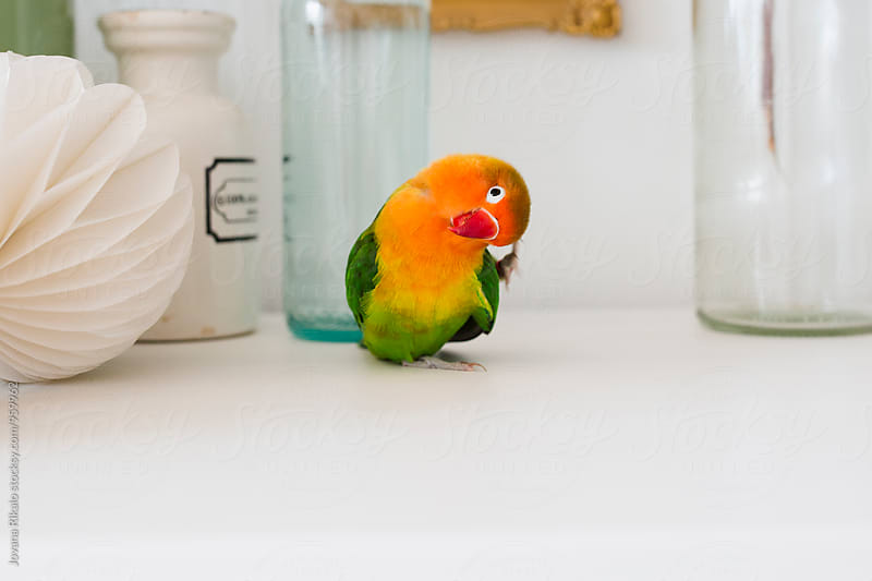 Cute parrot by Jovana Rikalo for Stocksy United