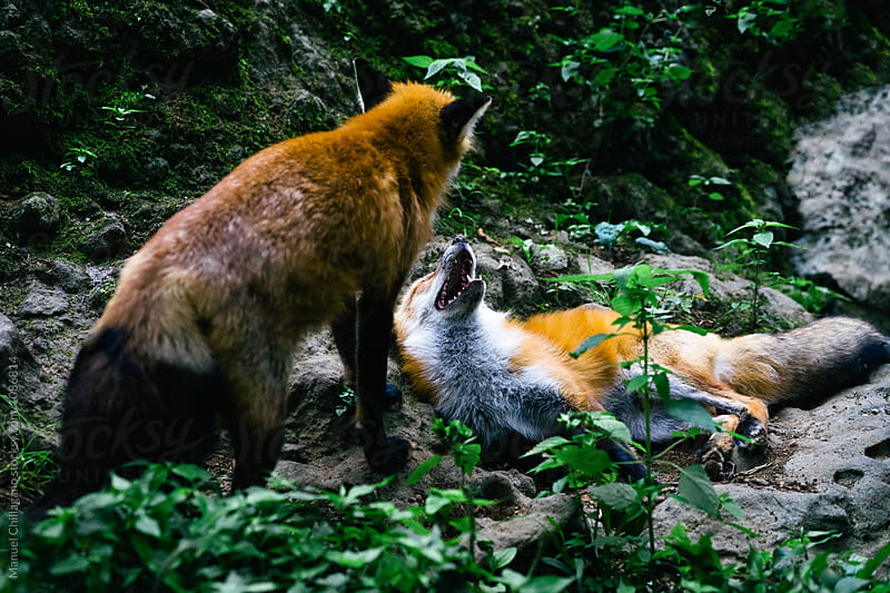Two red foxes fighting on a rock by Manuel Chillagano for Stocksy United
