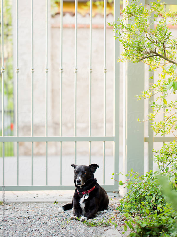 Black dog relaxes in front of iron gate in garden by Laura Stolfi for Stocksy United