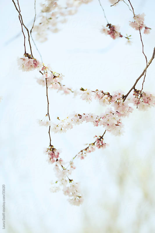 Cherry tree flowered branches with pale blue sky on background by Laura Stolfi for Stocksy United