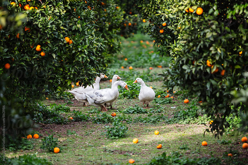 Orange Grove with Ducks by Helen Sotiriadis for Stocksy United