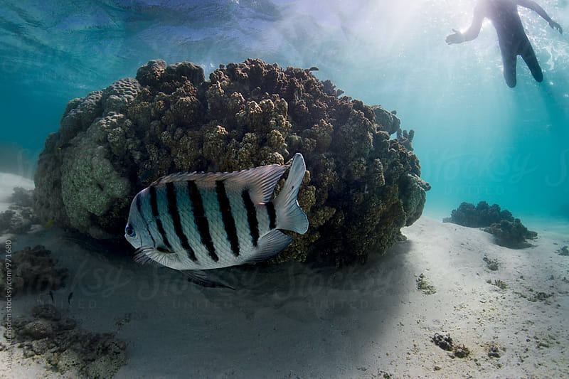Striped fish and coral underwater as a person in a wetsuit swims nearby by Angela Lumsden for Stocksy United