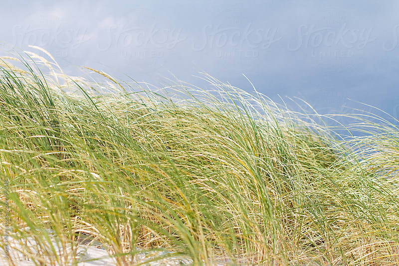 Tall beach grass  by Jacqui Miller for Stocksy United