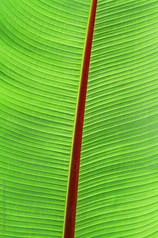 tropical banana leaf by Cameron Zegers for Stocksy United