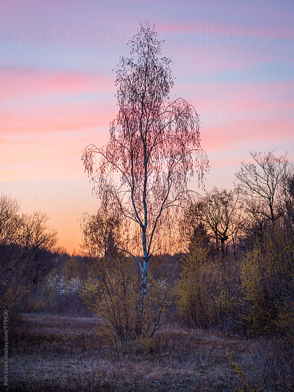 Silver birch at sunset by Richard Jones for Stocksy United