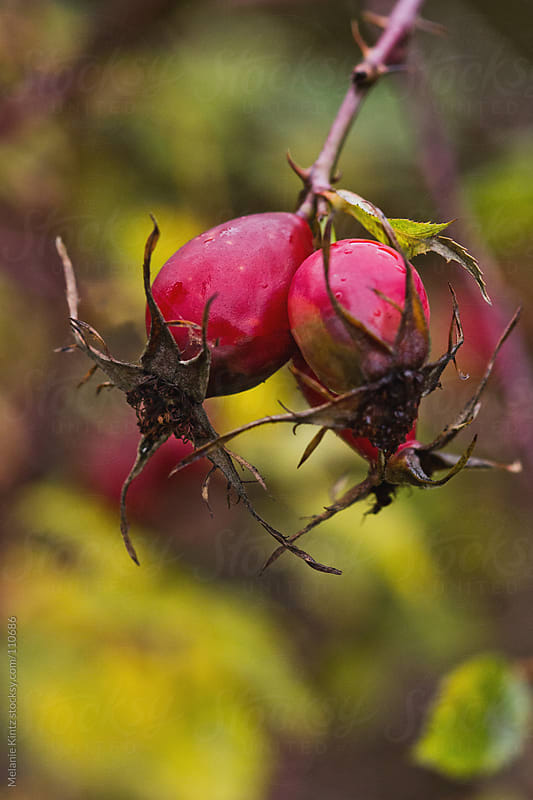 Rosehip on a branch in fall by Melanie Kintz for Stocksy United