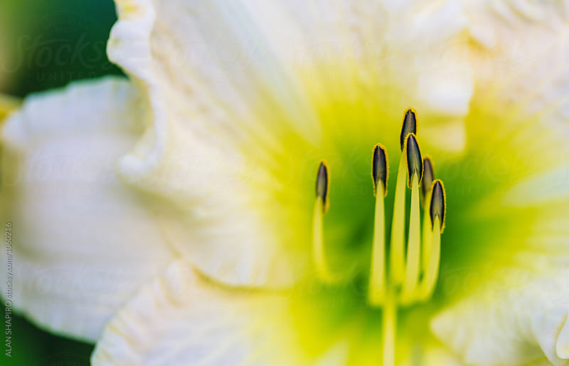Daylily macro by alan shapiro for Stocksy United