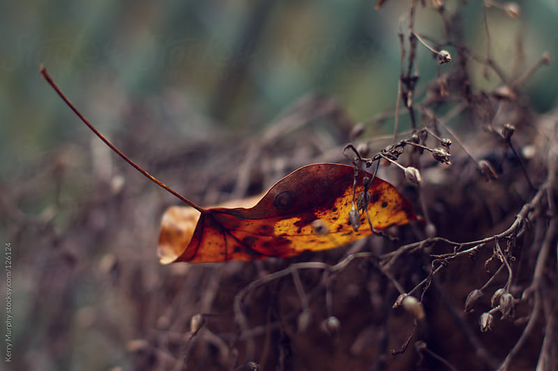 Close up of autumn leaf caught in plant by Kerry Murphy for Stocksy United