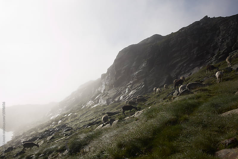 Flock of sheep in a misty mountain  by Miquel Llonch for Stocksy United