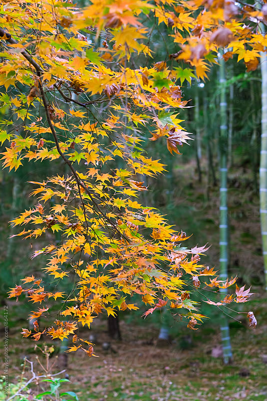 Japanese Maple Leaves in Autumn Color, Kyoto by Rowena Naylor for Stocksy United
