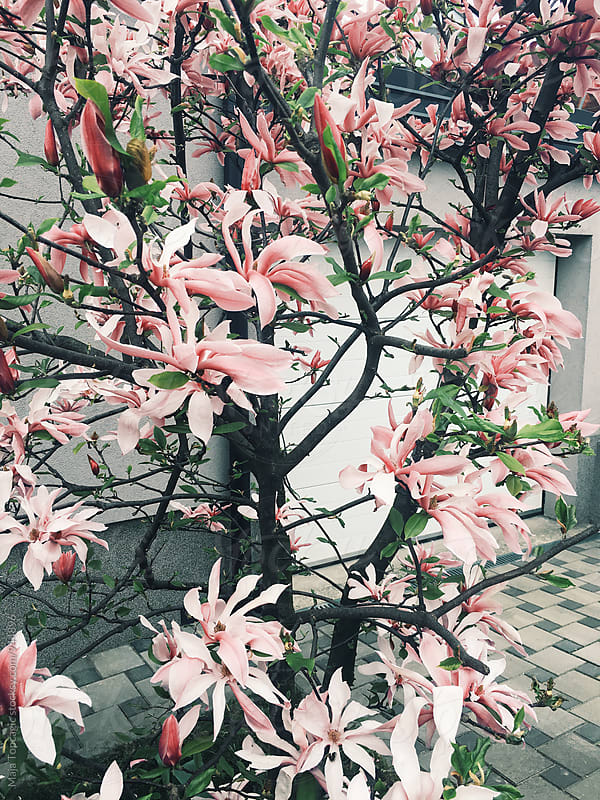 Magnolia in front of a house by Maja Topcagic for Stocksy United