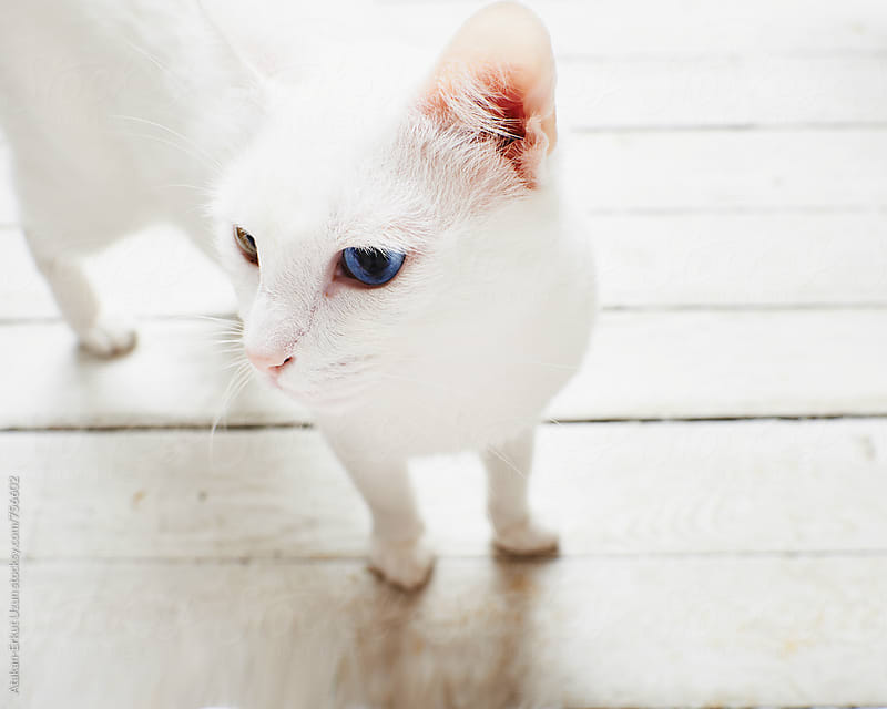 white cat by Atakan-Erkut Uzun for Stocksy United