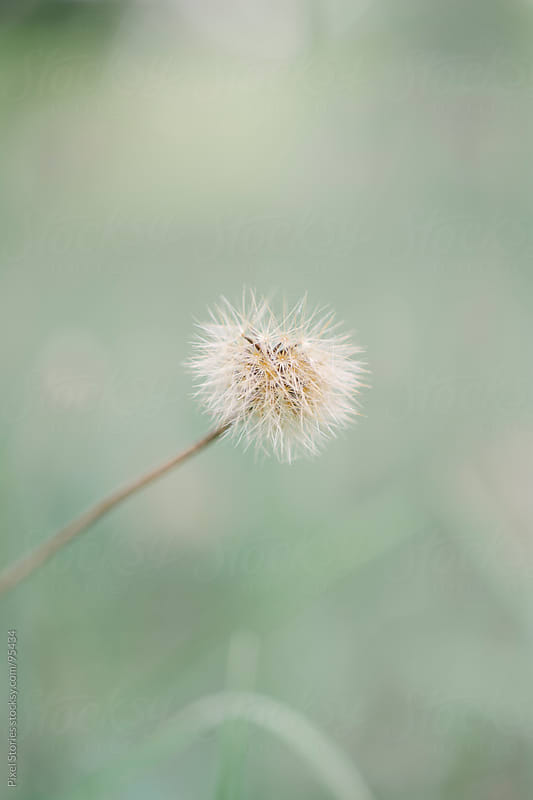 Gentle dandelion close-up by Pixel Stories for Stocksy United