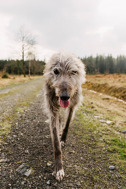 Lurcher by Agencia for Stocksy United