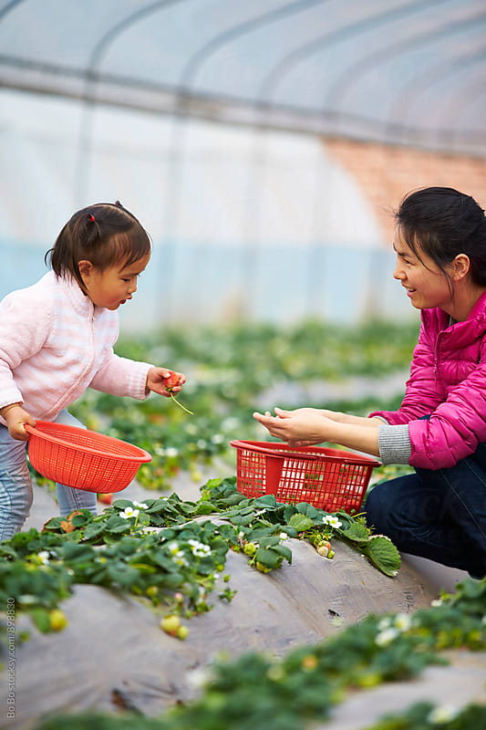 little asian girl picking strawberry in the farm with her mother by Bo Bo for Stocksy United