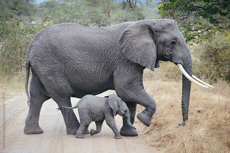 African elephant baby and mother crossing road by Matthew Spaulding for Stocksy United