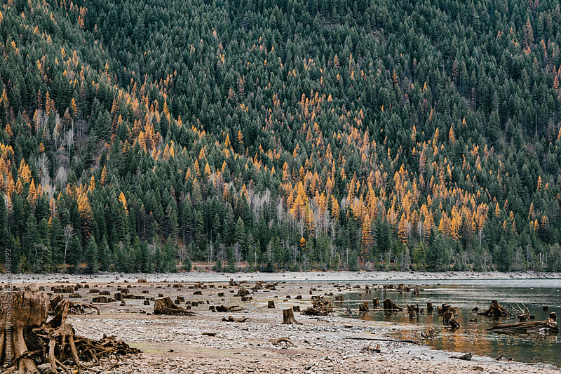 Exposed stumps on the shoreline of Sullivan Lake by Justin Mullet for Stocksy United