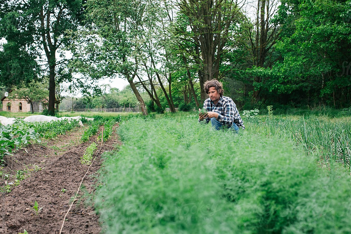 Farm To Table   Young Man Picking Fresh Dill In Lush Organic Garden By  VISUALSPECTRUM For
