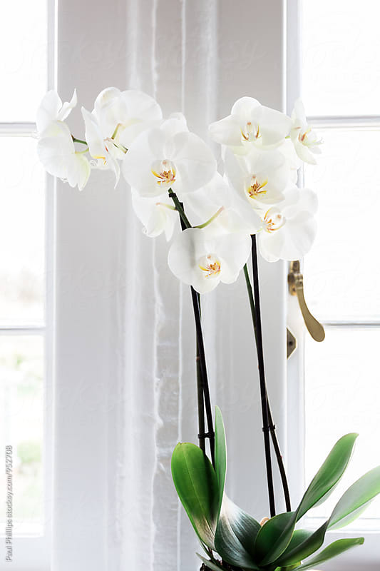 White Orchid growing by a window. by Paul Phillips for Stocksy United