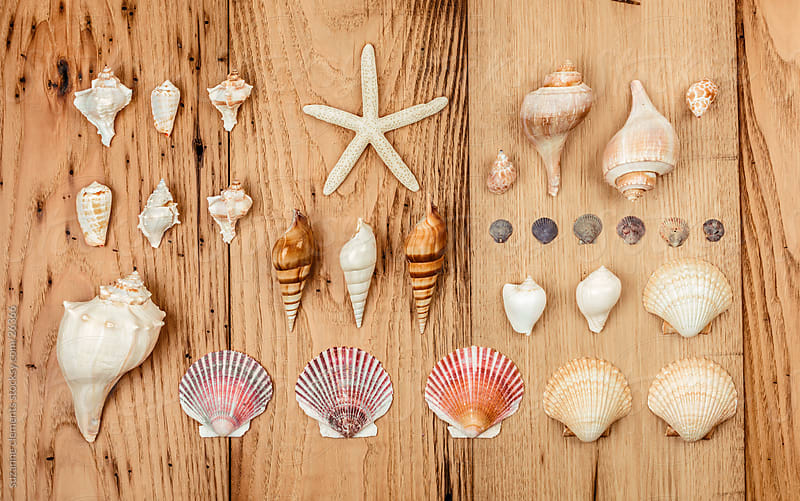 Collection of Sea Shells on Display by suzanne clements for Stocksy United