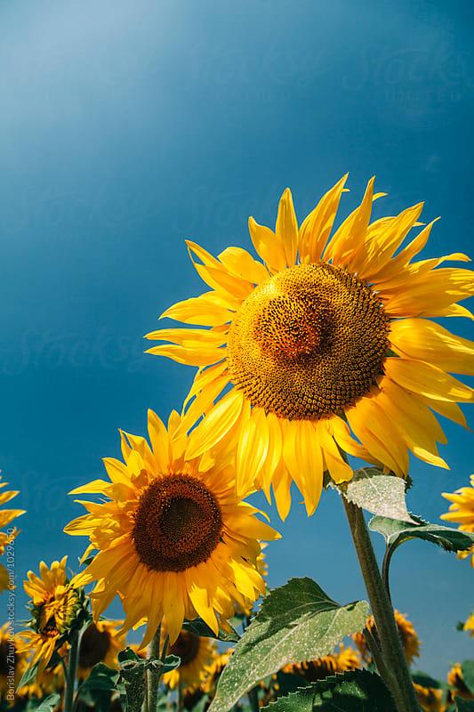 Sunflower towards the sun by Borislav Zhuykov for Stocksy United