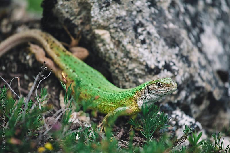 Close up of green lizard by Borislav Zhuykov for Stocksy United