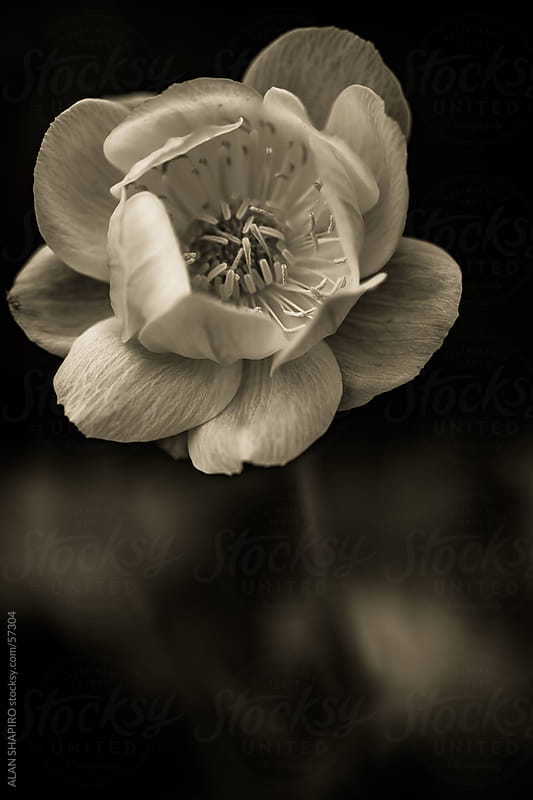 Lenten Rose in monochrome by alan shapiro for Stocksy United