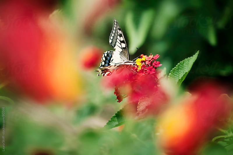 Butterfly with a broken wing on orange Lantana flowers by Laura Stolfi for Stocksy United