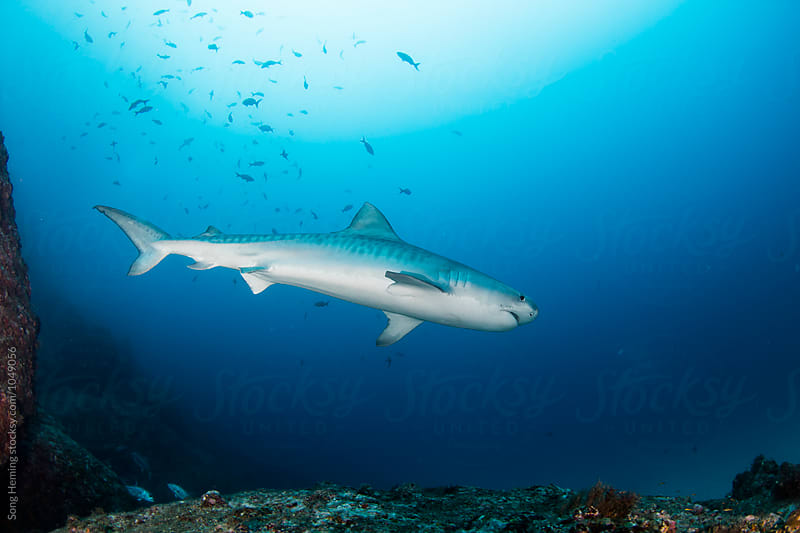 A  big tiger shark swimming up on the reef by Song Heming for Stocksy United