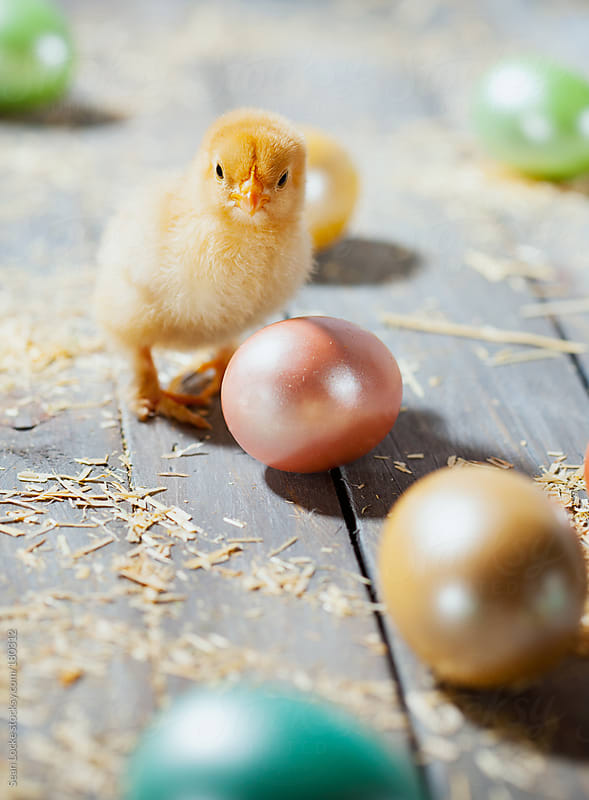 Chicks: Holiday Chicken with Colored Easter Eggs by Sean Locke for Stocksy United