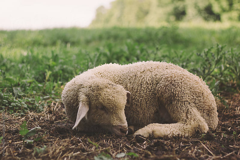 Young Lamb Laying in the Grass by Kevin Keller for Stocksy United