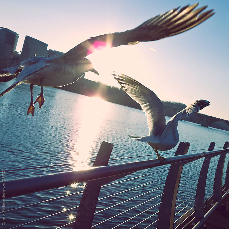 Gulls on the Georgetown boardwalk  by Cameron Whitman for Stocksy United