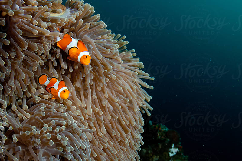 A Pair of clown fish taking shelter in their anemone by Caine Delacy for Stocksy United